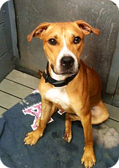 Boxer/Pit Bull Terrier Mix Dog for adoption in Nesquehoning, Pennsylvania - Maxx