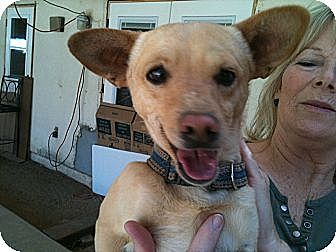 Chihuahua/Terrier (Unknown Type, Small) Mix Dog for adoption in Phoenix, Arizona - Mr. T