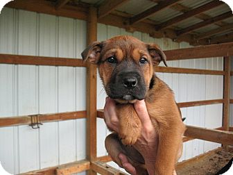 Shepherd (Unknown Type)/Terrier (Unknown Type, Medium) Mix Puppy for adoption in East Hartford, Connecticut - Lady MEET ME 5/17