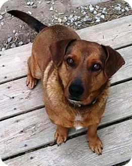 Dachshund/Corgi Mix Dog for adoption in Ocala, Florida - Sprocky
