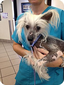 Chinese Crested Dog for adoption in Las Vegas, Nevada - Cher