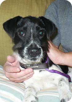 Terrier (Unknown Type, Medium) Mix Puppy for adoption in Eastpoint, Florida - Dodger