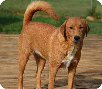 Labrador Retriever/Shepherd (Unknown Type) Mix Dog for adoption in Grenada, Mississippi - Annie Mae