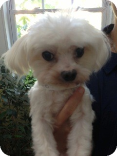 Maltese Dog for adoption in Columbia, South Carolina - Bernard