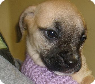 American Bulldog/French Bulldog Mix Puppy for adoption in Coudersport, Pennsylvania - BARBIE