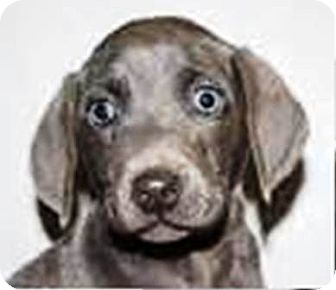 Weimaraner/Labrador Retriever Mix Puppy for adoption in Oswego, Illinois - I'M ADOPTED River Cope