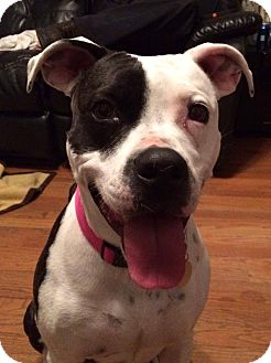 Pit Bull Terrier/American Staffordshire Terrier Mix Dog for adoption in Eastpointe, Michigan - Lucy
