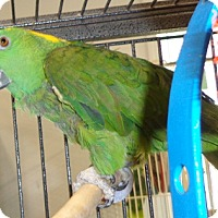 Adopt A Pet :: Pepper - Grandview, MO