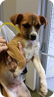 Beagle/Chihuahua Mix Dog for adoption in Von Ormy, Texas - Kimmie