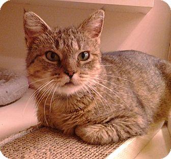 Domestic Shorthair Cat for adoption in Richmond, Virginia - Patty