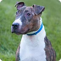 Adopt A Pet :: Chief - Las Vegas, NV