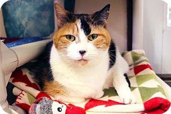 Domestic Shorthair Cat for adoption in Bellevue, Washington - Chloe