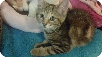 Domestic Shorthair Kitten for adoption in Columbus, Ohio - Leah