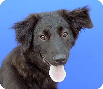 Border Collie Mix Puppy for adoption in LAFAYETTE, Louisiana - TALLULAH
