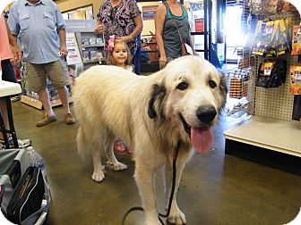 Great Pyrenees Dog for adoption in Macon, Georgia - Arnold