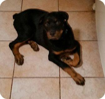 Rottweiler Puppy for adoption in Gilbert, Arizona - Bronco