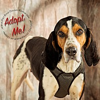 Treeing Walker Coonhound Dog for adoption in Gillsville, Georgia - Cole