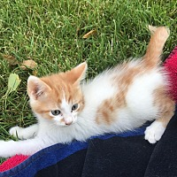 Domestic Mediumhair Kitten for adoption in Lodi, California - Max