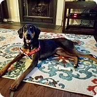 Adopt A Pet :: Bella Rey - Virginia Beach, VA