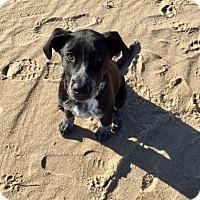 Adopt A Pet :: Cooper - Baltimore, MD