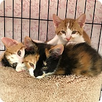 Domestic Shorthair Kitten for adoption in Marlton, New Jersey - Maddie, Cinnamon, Oliver