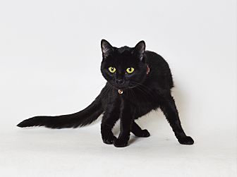 Domestic Shorthair Cat for adoption in Fruit Heights, Utah - Christie