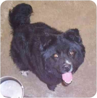 Border Collie/Chow Chow Mix Dog for adoption in Anderson, Indiana - Riley