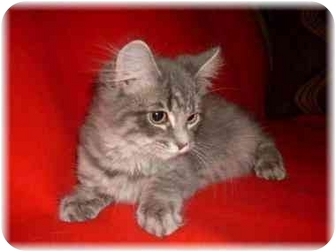 Domestic Longhair Kitten for adoption in Brighton, Michigan - Betsy