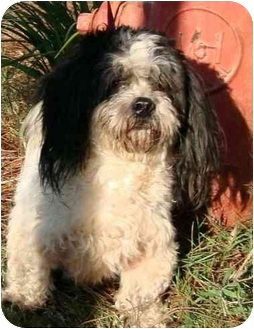 Lhasa Apso Mix Dog for adoption in Albany, Georgia - Shaggy