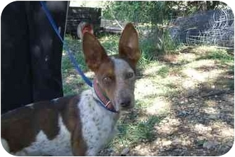 Australian Cattle Dog/Corgi Mix Dog for adoption in Fair Oaks Ranch, Texas - Radar