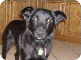 Border Collie/Labrador Retriever Mix Dog for adoption in Berea, Ohio - Sidney-Courtesy Post