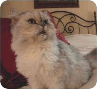 Persian Cat for adoption in Chattanooga, Tennessee - Claudia (FIV+)