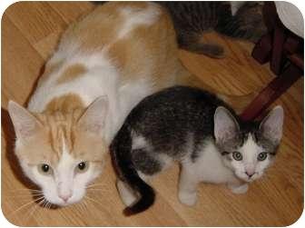 Domestic Shorthair Cat for adoption in DeKalb, Illinois - Percy