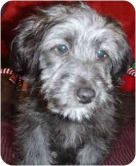 Schnauzer (Miniature)/Poodle (Miniature) Mix Puppy for adoption in north hollywood, California - Charlie