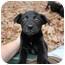Photo 1 - Labrador Retriever Mix Puppy for adoption in Preston, Connecticut - Gemma