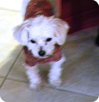 Maltese/Poodle (Miniature) Mix Dog for adoption in Amelia  Island/Clearwater/Jacksonville, Florida - Louie Louie