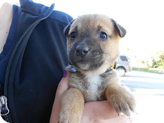 German Shepherd Dog Mix Puppy for adoption in Atascadero, California - Blake