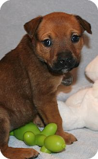 German Shepherd Dog/Labrador Retriever Mix Puppy for adoption in Scottsdale, Arizona - Meredith