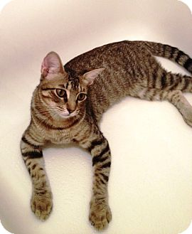 Domestic Shorthair Cat for adoption in Houston, Texas - Charly