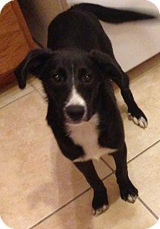 Labrador Retriever/Hound (Unknown Type) Mix Puppy for adoption in Gainesville, Florida - Luke
