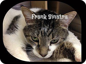 Domestic Shorthair Cat for adoption in Cincinnati, Ohio - Sinatra