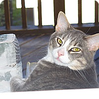Domestic Shorthair Cat for adoption in Halifax, Nova Scotia - Sponsor Leonard