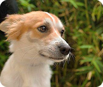 Cavalier King Charles Spaniel Mix Dog for adoption in Berkeley, California - Pinto