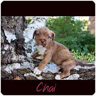 Pit Bull Terrier/Shih Tzu Mix Puppy for adoption in Garden City, Michigan - Chai
