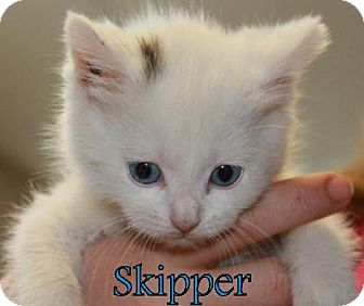 Domestic Shorthair Kitten for adoption in Lewisburg, West Virginia - Skipper