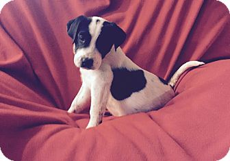 Border Collie Mix Puppy for adoption in ST LOUIS, Missouri - Ozzie