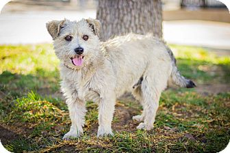 Terrier (Unknown Type, Small) Mix Dog for adoption in Los Angeles, California - Saffron