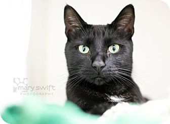 Domestic Shorthair Cat for adoption in Reisterstown, Maryland - R2