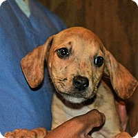 Adopt A Pet :: Samuel - Dumfries, VA