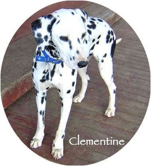 Dalmatian Dog for adoption in Mandeville Canyon, California - Clementine